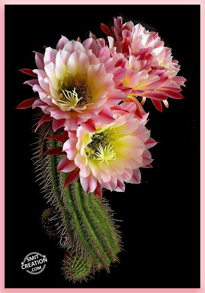 Flowers Pictures and Graphics - SmitCreation.com - Page 5